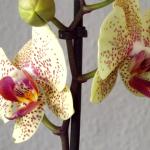 Blüten zur Duftstoffgewinnung
