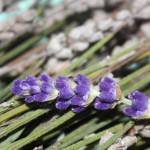 Lavendel aus Grasse