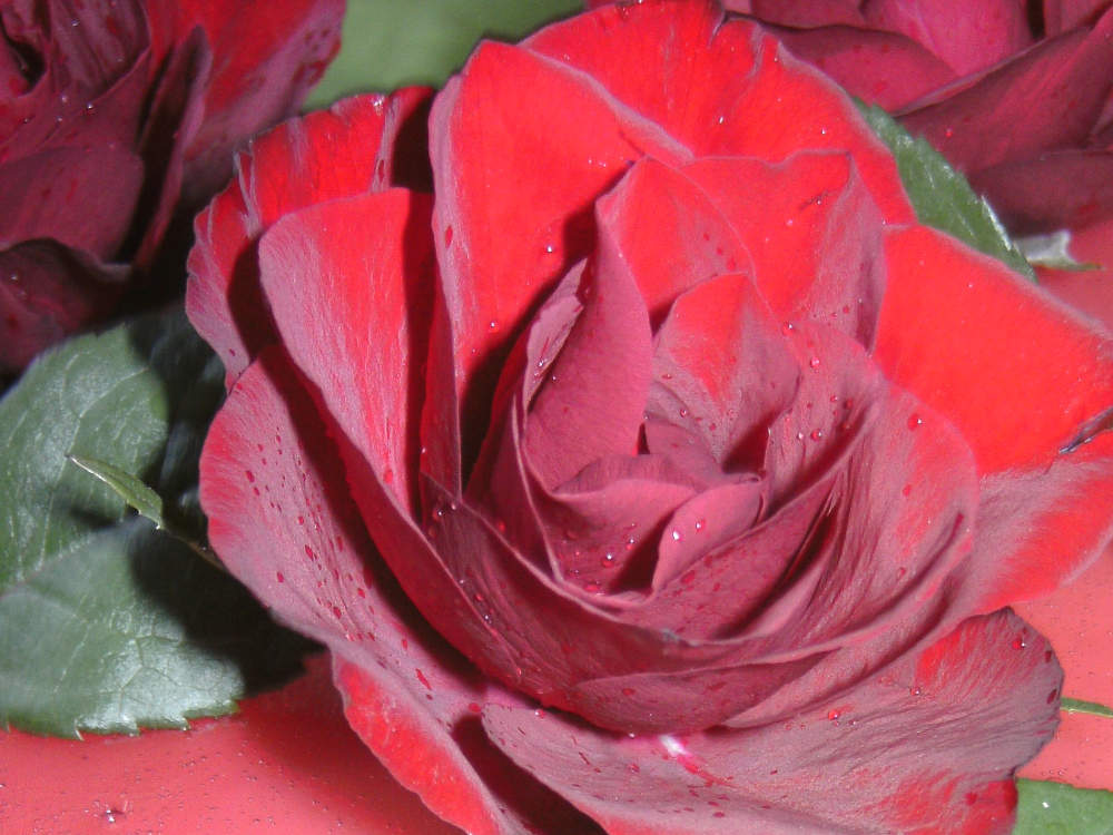Beliebte Duftnoten - die Rose gehört dazu