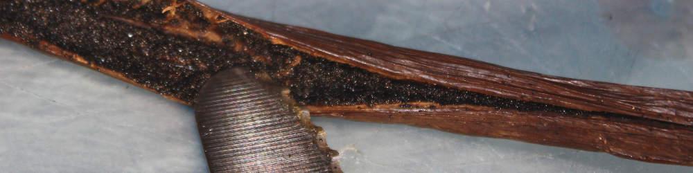aufgeschnittene Frucht der Vanille und das Mark der Vanilleschote