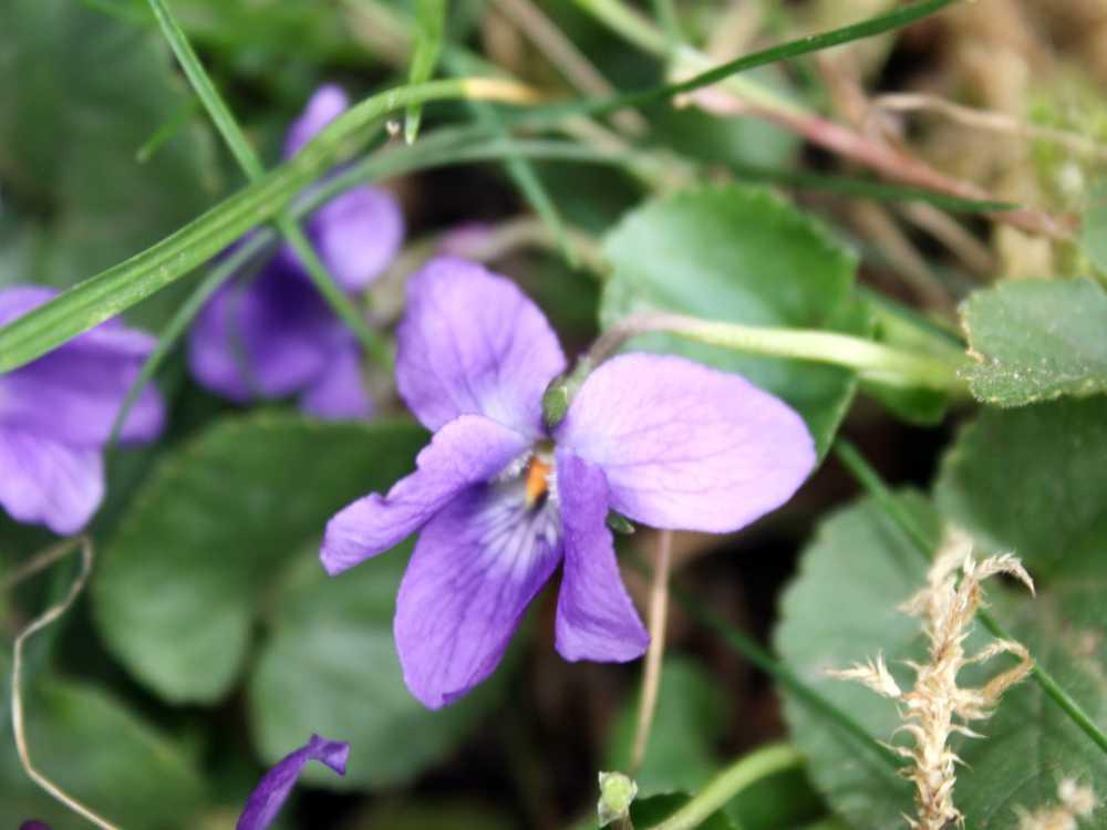 Lila Veilchenblüte mit Blattgrün der Viola