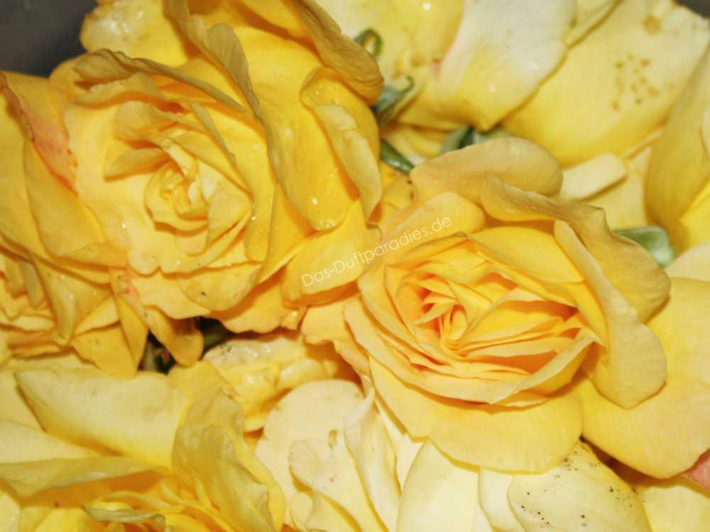 Parfüm Frauen: Rosenblüte als beliebte Duftnote in Damenparfüm